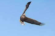 White-tailed Eagle, Akan International Crane Center