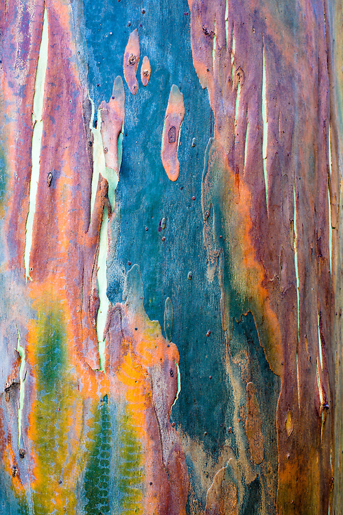 Eucalyptus tree trunk detail in D'Aguilar National Park.