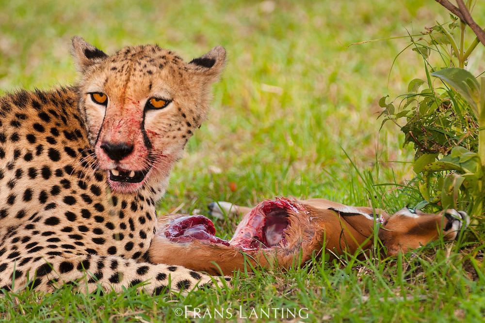 Cheetah, Acinonyx jubatus, with impala kill, Aepyceros melampus, Masai Mara National Reserve, Kenya