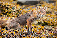 A red fox, Vulpes vulpes, on  the shore in Geographic Harbor, Katmai National Park, Alaska.