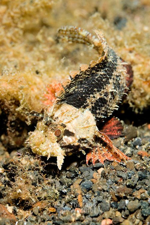 Juvenile scorpionfish fish at Lembeh Straits, Indonesia.