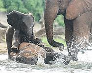 Baby elephant playfully climbs onto young elephant that is splashing at the edge of the Chobe River, Chobe National Park, Botswana, © 2019 David A. Ponton