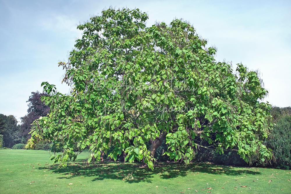 Catalpa bignonoides (Indian bean tree) at West Dean Gardens
