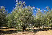 Olive trees at Pontignanello in Chianti, Tuscany, Italy