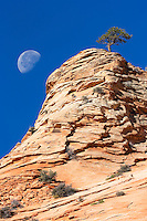 Lone tree sits atop a sandstone formation flanked by a 3/4 moon in Zion National Park, Utah.
