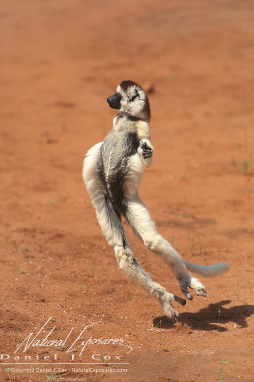 Verreaux's Sifaka (Propithecus verreauxi) dancing in a locomotive style.