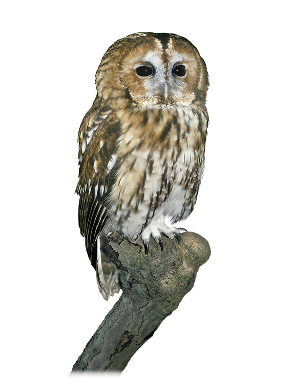 Tawny Owl Strix aluco L 38-40cm. Our most familiar owl. Strictly nocturnal; roosts in tree foliage during day. Flight is leisurely on broad, rounded wings. Sexes are similar. Adult and juvenile have streaked, variably chestnut-brown or grey-brown plumage, palest on underparts. Eyes are dark. In flight, underwings look pale. Young birds typically leave nest while still downy and white. Voice Utters sharp kew-wick and well-known hooting calls; most vocal in late winter and early spring. Status Fairly common resident of woodland habitats where small mammals are common; also in gardens and suburban parks.