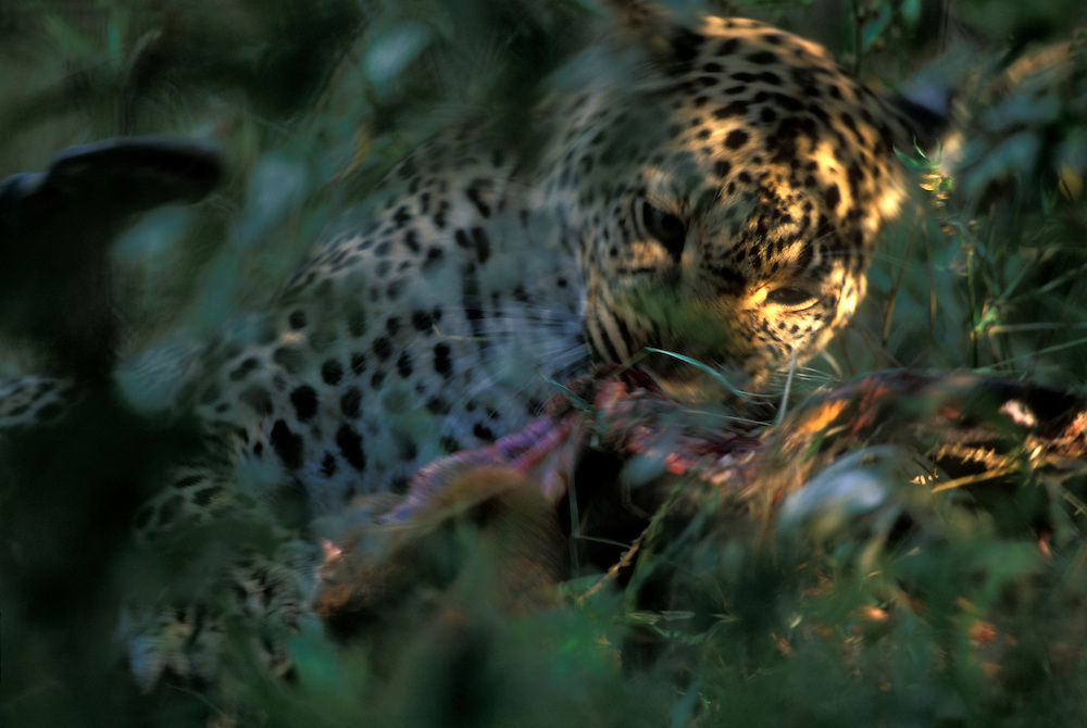Africa, Kenya, Masai Mara Game Reserve, Adult Female Leopard (Panthera pardus) feeding on impala kill in dense brush