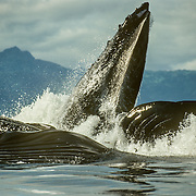 There is so much power when the whales explode to the surface when they are feeding cooperatively with bubble nets. I could almost feel the energy being transmitted through the air and water when they exploded to the surface like this.