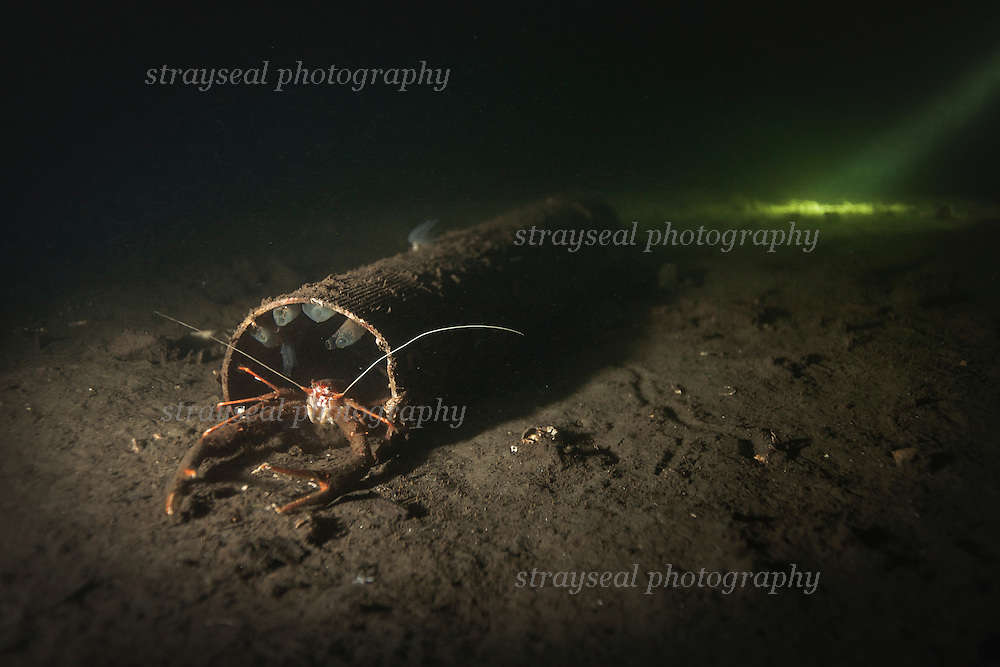 Squat lobster habitating a discarded piece of pipe