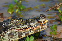 Yacare Caiman (Caiman yacare) with pirhanna, Araras Ecolodge,  Mato Grosso, Brazil (Photo: Peter Llewellyn)