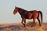 Stock photo of mustang captured in Colorado.  Mustangs are free roaming horses of the American west. These horses are decendents of the horses brought over by the Spanish.