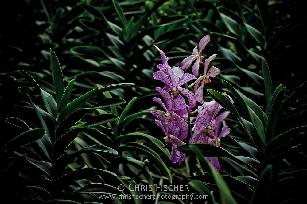 Orchids at the Singapore Botanical Garden.