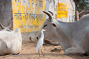 Egret with bull among herd of cattle at Jhupidiya Village in Sawai Madhopur, Rajasthan, Northern India
