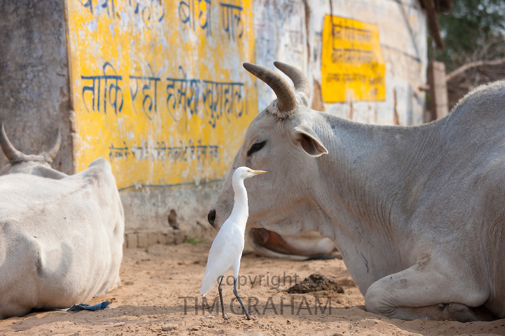 Egret with bull among herd of cattle at Jhupidiya Village in Sawai Madhopur, Rajasthan, Northern India