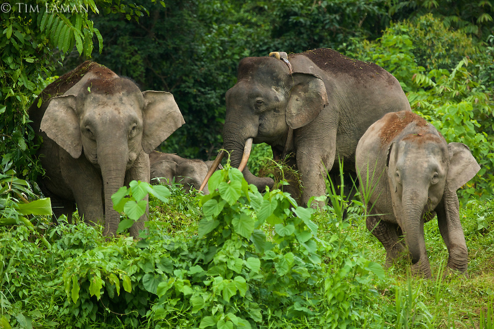 A group of Borneo Pygmy Elephants includes a large male with a radio collar around his neck.