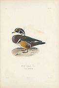 Birds of Cube 1838 wood duck or Carolina duck (Aix sponsa [Here as Anas sponsa]) is a species of perching duck found in North America. It is one of the most colorful North American waterfowl. From the book Histoire physique, politique et naturelle de l'ile de Cuba [Physical, political and natural history of the island of Cuba] by  Sagra, Ramón de la, 1798-1871; Orbigny, Alcide Dessalines d', 1802-1857 Publication date 1838 Publisher Paris : A. Bertrand