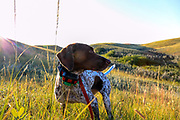 John Zeman's GSP Liza, searches for birds during Montana sharptailed grouse.