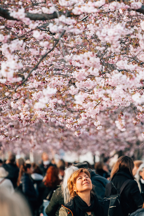 A woman enjoying the afternoon sun, under the cherry-blossom treets in  Kungsträdgården, Stockholm