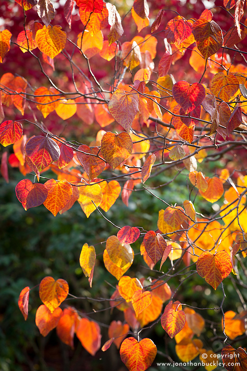 The backlit leaves of Cercis canadensis 'Forest Pansy' AGM syn. Cercis canadensis 'Purple Leaf' in autumn colour. Redbud 'Forest Pansy'