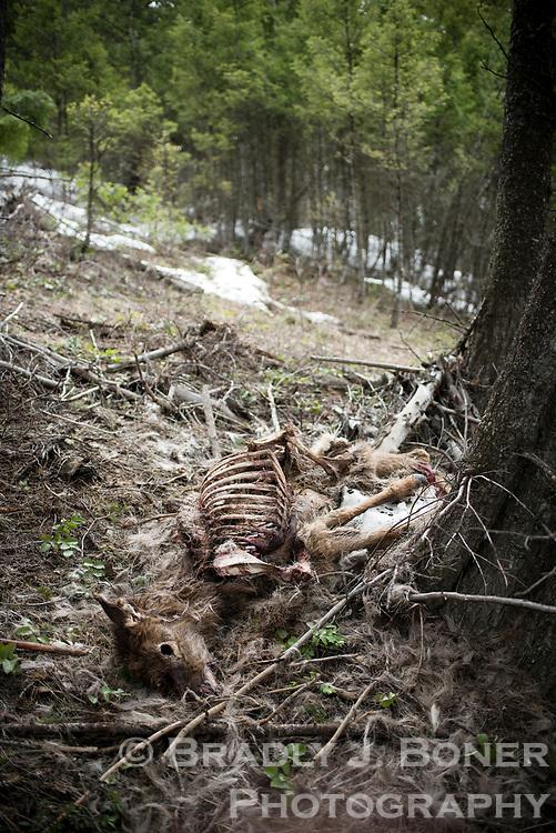 Winter-killed elk on Snow King Mountain