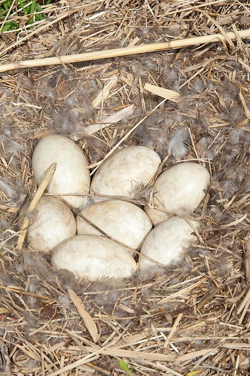 Canada Goose nest, Branta canadensis, Wayne County, Michigan