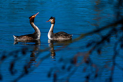 20-01-2019 NED: Birdwatch around your garden, Maarssen<br /> Fuut (Podiceps cristatus)