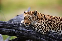 Leopard (Panthera pardus) resting in Okavango, Botswana