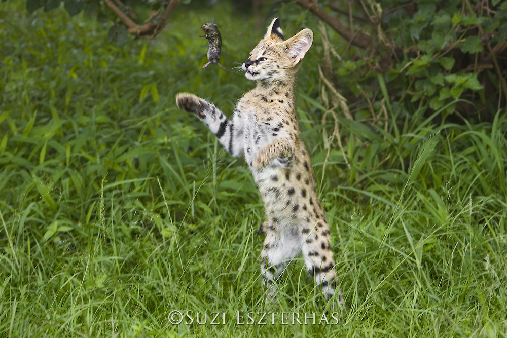 Serval<br /> Felis serval<br /> 13 week old orphan kitten playing with mouse<br /> Tanzania