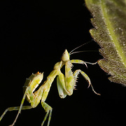 Nymph of Creobroter sp. Mantis in Huai Kha Kaeng Wildlife Sanctuary, Thailand.