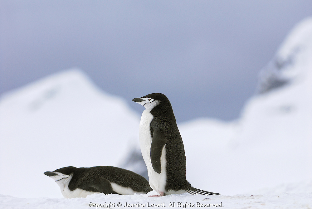 Two chinstrap penguins on snow wtih mountains in the background.