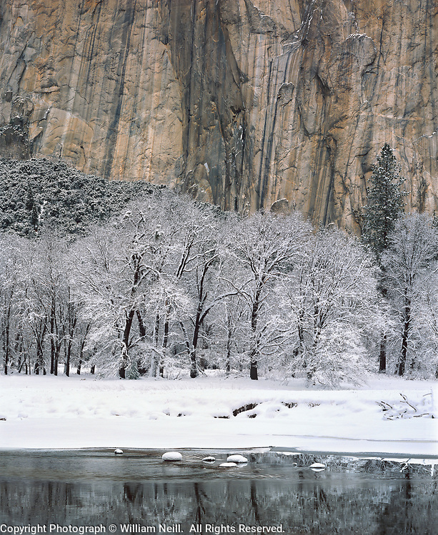 Black oaks, Merced River and El Capitan, Yosemite Valley, Yosemite National Park, California  1985