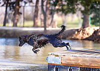 A Dog leaps from a dock hoping for a big splash in the pond