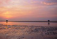 """Shell collectors doing """"Sanibel stoop"""" at sunrise, low tide, Gulf of Mexico, Sanibel Island, Florida"""