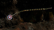Ringed (banded) pipefish. In the Philippines, muck divers head straight to Dauin to begin the hunt. It is considered one of the premier muck diving locations on the planet. On a bad day at Dauin, you can spot more rare animals than a decade out on the reef...
