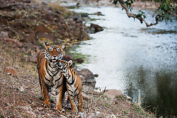 Young tiger cub greets its mother next to a large water hole (Panthera tigris tigris), Ranthambhore National Park, Rajasthan, India,