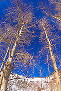 Bare aspens and blue sky, North Lake, Inyo National Forest, Sierra Nevada Mountains, California