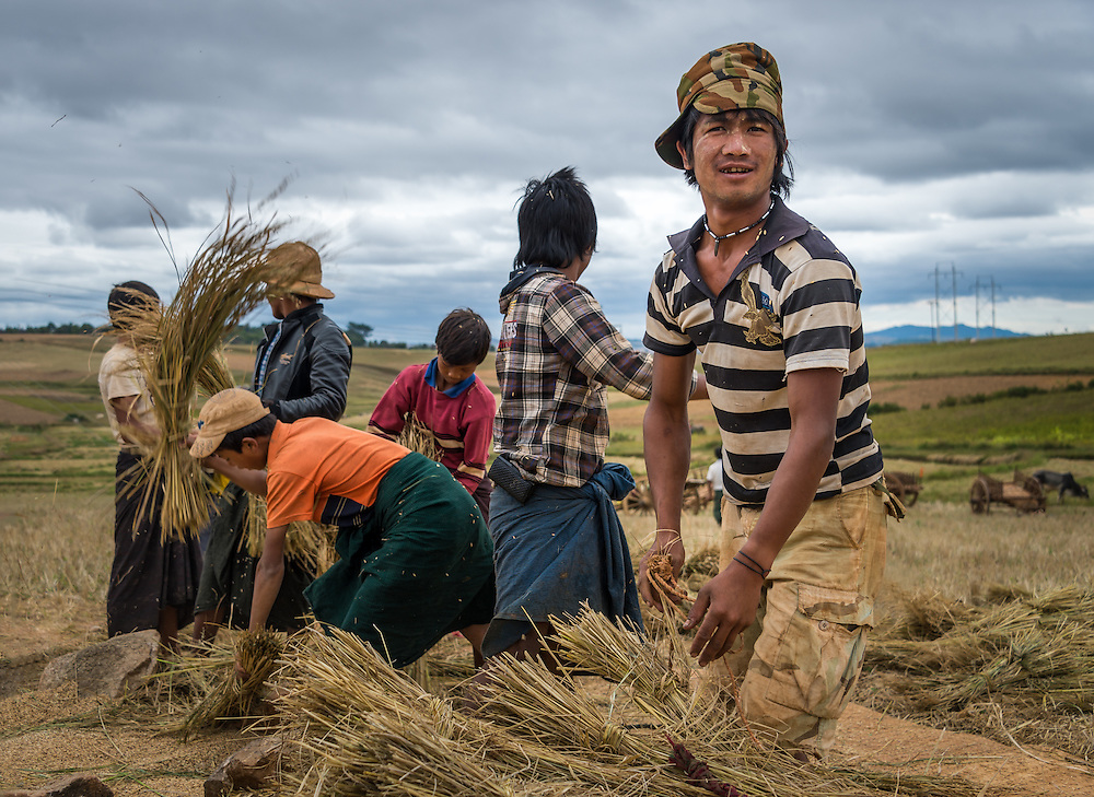 SHAN PROVINCE, MYANMAR - CIRCA DECEMBER 2013: Group of farmers harvesting sticky rice in the countryside.