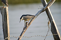 Immature Black-crowned night heron (Nycticorax nycticorax) on a post in Lake Chapala - Ajijic, Jalisco, Mexico