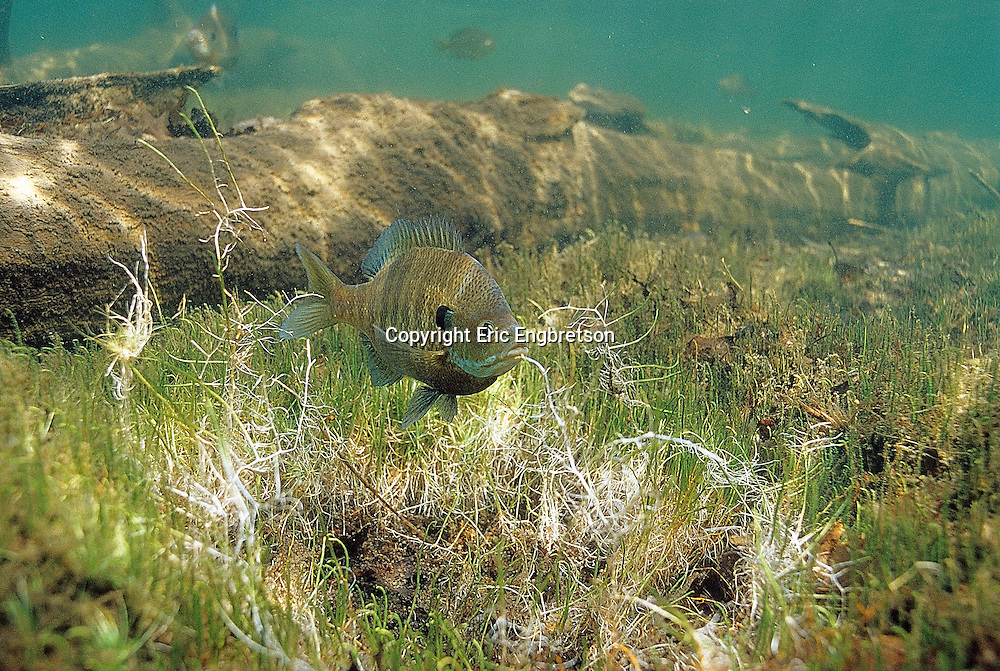 Bluegill Sunfish prepaing spawning bed<br /> <br /> ENGBRETSON UNDERWATER PHOTO