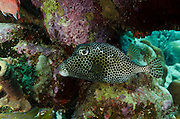 Spotted Trunkfish (Lactophrys bicaudalis)<br /> BONAIRE, Netherlands Antilles, Caribbean<br /> HABITAT &amp; DISTRIBUTION: Above reefs, hover over open holes or under ledges.<br /> Florida Keys, Bahamas, Caribbean and south to Brazil.
