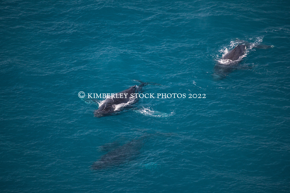 Four Humpback whales including a calf surface near Willie Creek on the Kimberley coast.