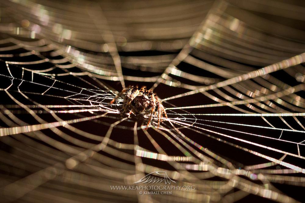 orbweb spider (Eriophora pustulosa) in the centre of its spiderweb, New Zealand.