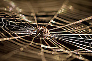 orbweb spider (Eriophora pustulosa) in the centre of its spiderweb, New Zealand.