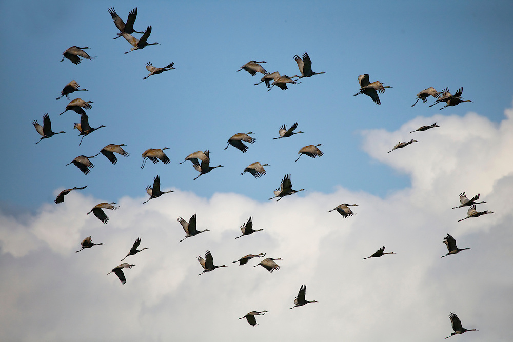 Alaska. Sandhill cranes (Grus canadensis) flying during fall migration through the Matanuska Valley.