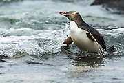 Yellow-eyed Penguin, Stewart Island, New Zealand