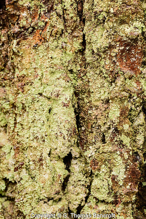 Dust Lichens - Continuous dust or powdery granules, on bark or verticle rock, whitish, greenish, bluish or greyish
