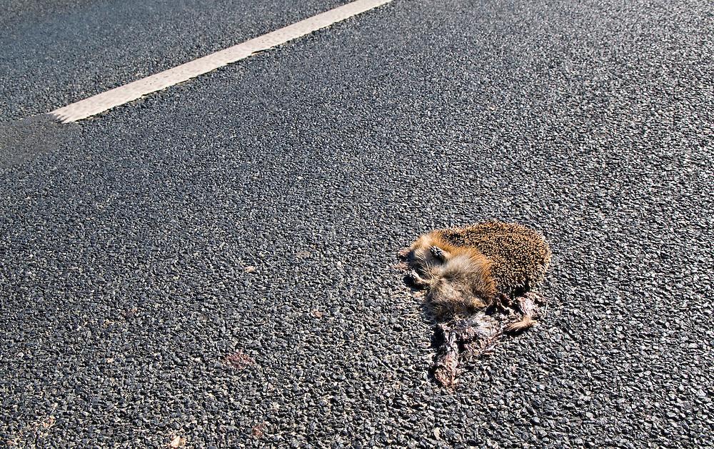 DEU,Deutschland   Ein ueberfahrener Igel auf der Landstrasse   | German country road. A rode over  hedgehog on road   |