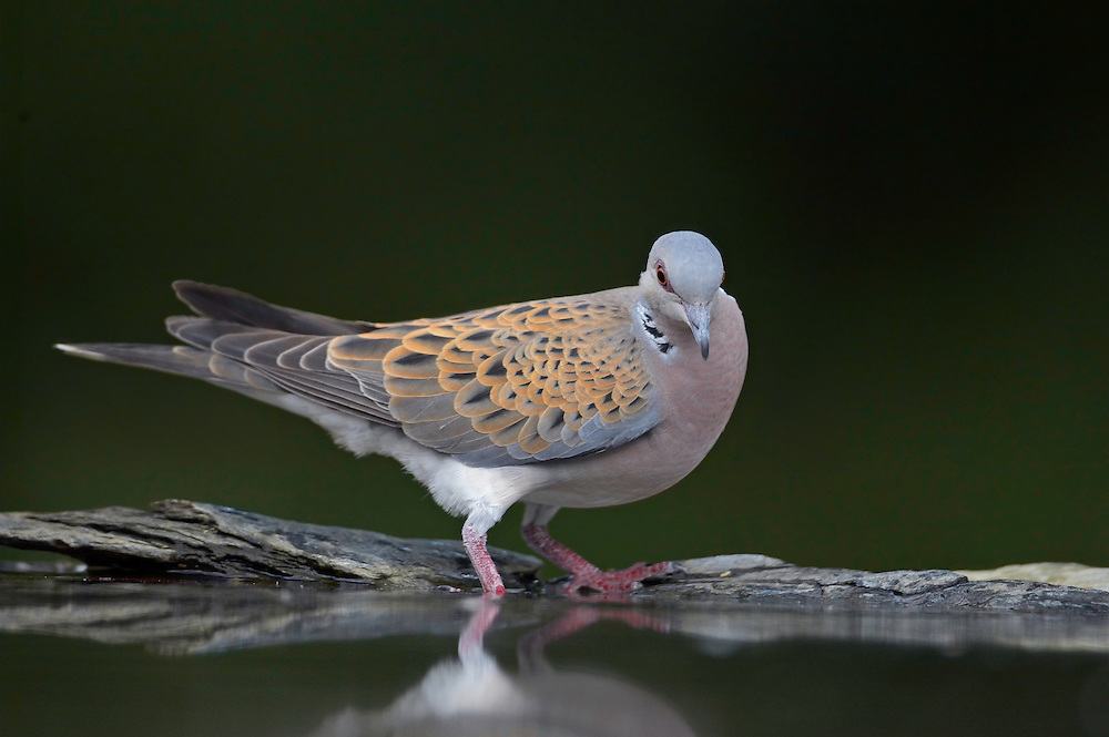 Turtle Dove (Streptopelia turtur) Pusztaszer Nature Reserve, Hungary