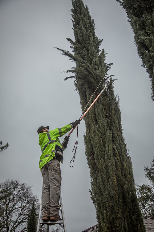 Franz Valley Tree Service employee and Hidden Valley resident Ryan Johnson prunes trees on School Street in Calistoga